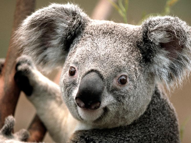 koala-b2
